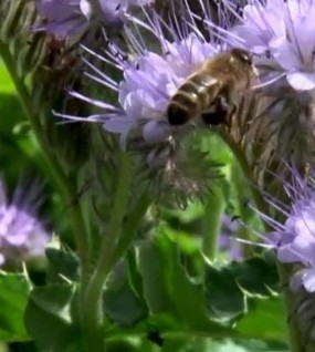 Service Users Create New Video Documentary on Bees – Bee Aware, Bee Heard
